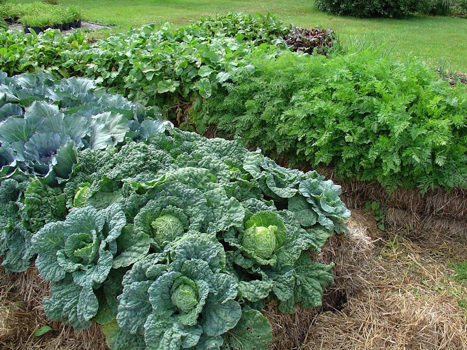 In this publicity photo provided by Cool Springs Press, cabbage and other vegetables planted in straw bales are shown in Minnesota author, Joel Karsten's garden. Karsten is the leading evangelist of a straw-bale gardening movement that has become one of this summer's hottest gardening trends. (AP Photo/Cool Springs Press, Tracy Walsh/Poser Design)