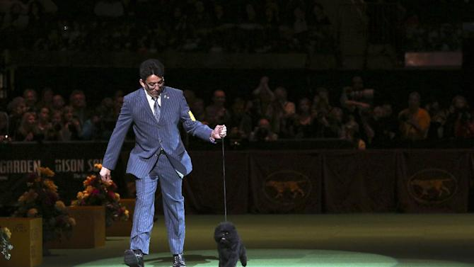 Ernesto Lara presents Banana Joe, an affenpinscher, during the Best in Show competition at the 137th Westminster Kennel Club dog show, Tuesday, Feb. 12, 2013, at Madison Square Garden in New York. (AP Photo/Mary Altaffer)