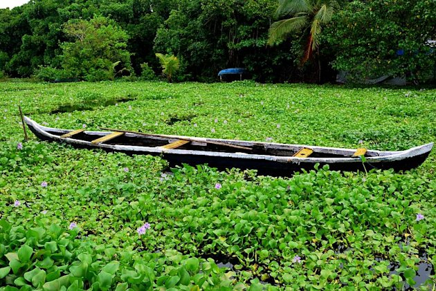 In Kumbalangi, a boat is mired in a waterway choked with water hyacinth