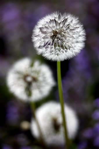 Dandelions are in a state ready for seed dispersal by the wind on Friday, April 20, 2012, in Doylestown, Pa. (AP Photo/Matt Rourke)