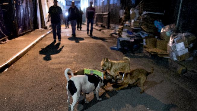 A rat is circled and killed by dogs of various hunting breeds that a group of dog owners brings together in a lower Manhattan alley to occasionally hunt rats in New York Friday, April 26, 2013. (AP Photo/Craig Ruttle)