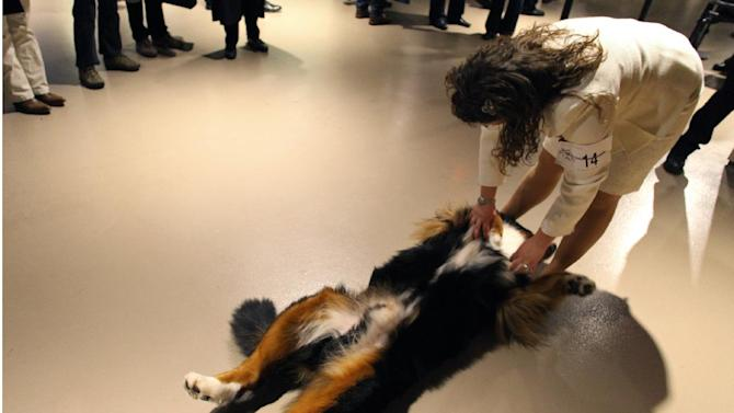 Timer, a bernese mountain dog, stretches out as handler Lisa Wadas of Flemington, N.J. plays along at the 136th annual Westminster Kennel Club dog show, Tuesday, Feb. 14, 2012, in New York. (AP Photo/Craig Ruttle)