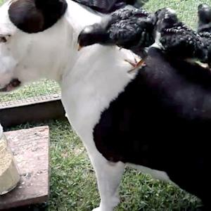 Pit bull snuggles up to a baby turkey