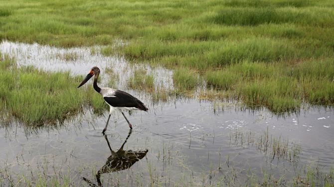A Saddle-billed Stork is seen in Amboseli National park