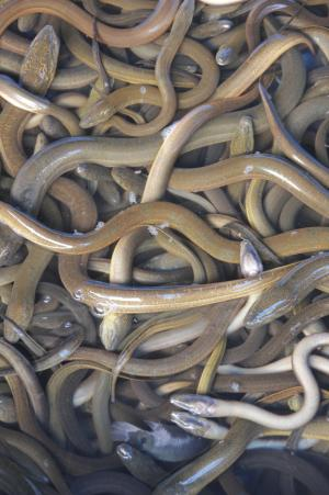 Whales Gobble Up Endangered European Eels