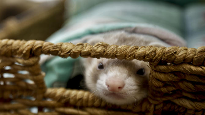 In this Wednesday, Dec. 19, 2012 photo, a ferret peaks through a basket handle opening in its cage, in La Mesa, Calif.  Pet ferrets abound despite being illegal to own in California. Thousands of people call them pets.  (AP Photo/Lenny Ignelzi)