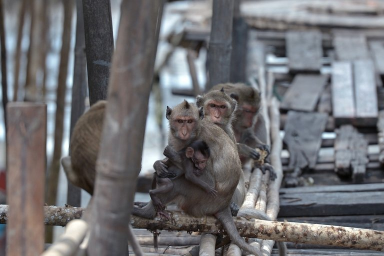 photo_1377756819820-1-HD - Thai village under siege from marauding monkeys - Asia   Middle East