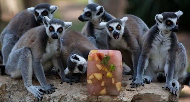 Zoo Feeds Animals Fruit In Ice To Combat Heat