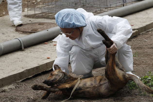 In this photo taken on Monday, April 9, 2012,  a dog is tranquilized before taken to be euthanized by lethal injection at a government-run shelter in Taoyuan, northern Taiwan. In an ongoing project, T