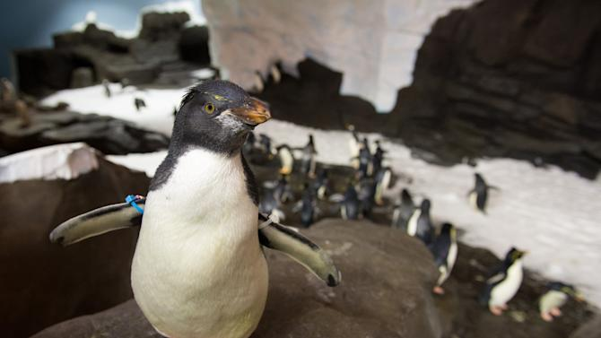 This undated image released by SeaWorld Parks & Entertainment, Inc. shows a rockhopper penguin at Antarctica: Empire of the Penguin, a new attraction at SeaWorld Orlando. The attraction opens Friday, May 24, 2013. (AP Photo/SeaWorld Parks & Entertainment, Inc.)