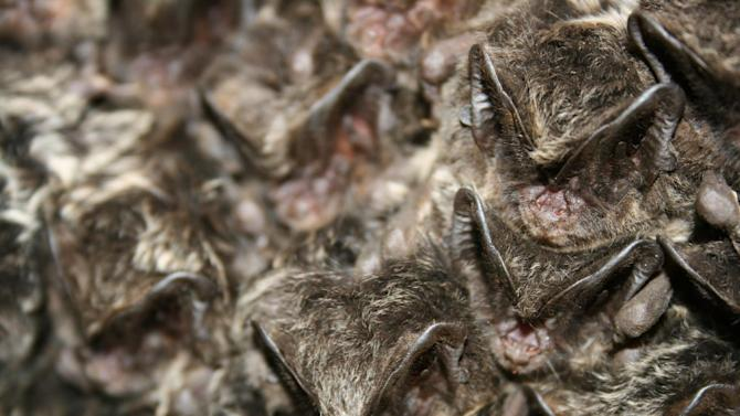 """Bats in North America and Canada are being decimated by """"white nose syndrome,"""" caused by a fungus."""