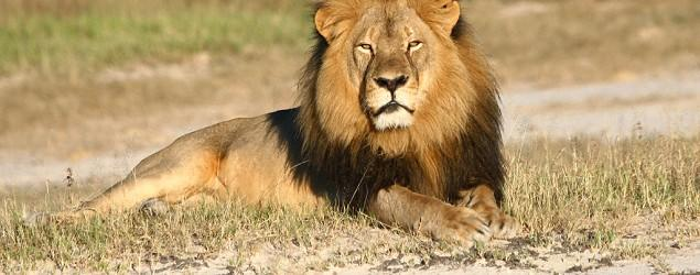 Zimbabwe restricts hunting after killing of lion