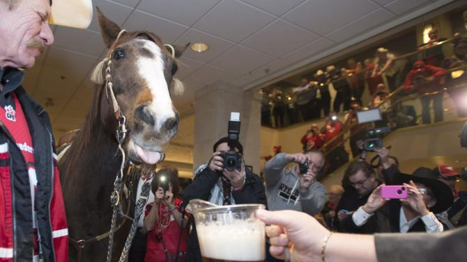 Tuffy the horse sticks his tongue out as he takes a drink of beer as part of the Calgary Stampeders' Grey Cup festivities inside a hotel in downtown Vancouver, British Columbia, Friday, Nov. 28, 2014. The 102nd Grey Cup will be played in Vancouver on Sunday. (AP Photo/The Canadian Press, Jonathan Hayward)