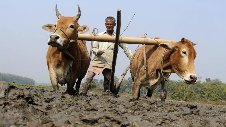 File photo of a farmer ploughing his paddy field in Kamalghat village, about 35 km (22 miles) of Agartala, capital of India's northeastern state of Tripura