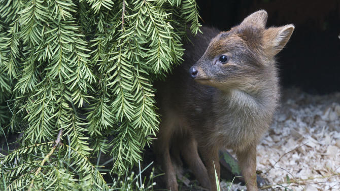 This photo provided by the Wildlife Conservation Society shows a newborn Southern pudu, native to Chile and Argentina, a member of the world's smallest deer species, that was born at the Queens Zoo last month in New York. The doe weighed 1 pound at birth. (AP Photo/Wildlife Conservation Society, Julie Larsen Maher)
