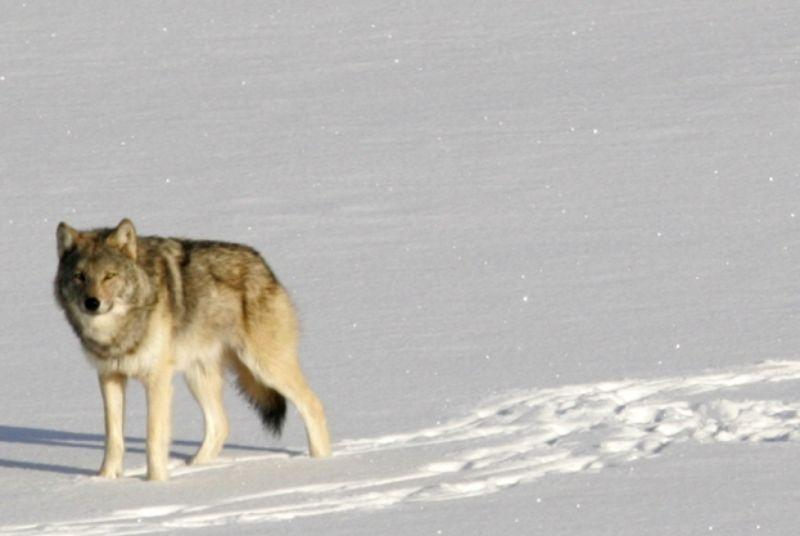 The longest-running predator study in the world is running out of wolves