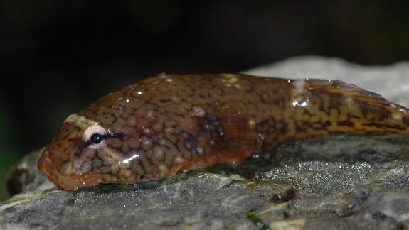Secret to Clingfish Suction Power Found