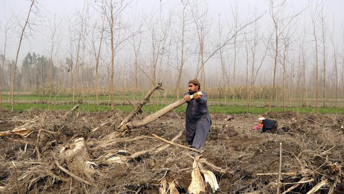 A farmer cuts down trees for firewood and to increase the size of his field outside Peshawar