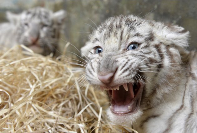 Two eight-week-old white tiger cubs are seen after a medical examination by veterinary surgeons at Bratislava Zoo
