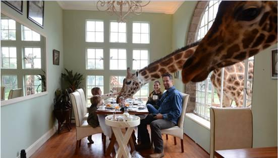 Giraffes join breakfast
