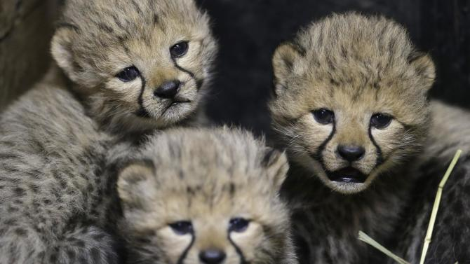 Three of the newly born cheetah quadruplets rest at their enclosure in Prague's zoo, Czech Republic, Friday, Dec. 19, 2014. The four cubs we're born on Nov. 21, 2014. Scientists say every cheetah cub is critical to saving the species, which is threatened with extinction in the wild. (AP Photo/Petr David Josek)