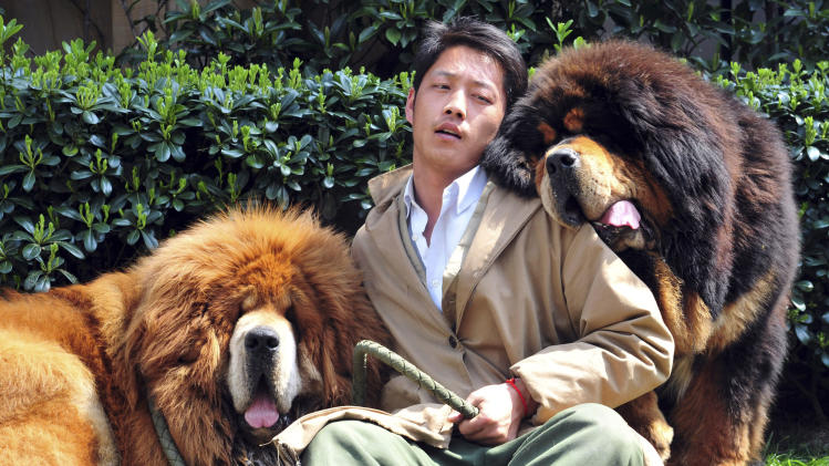 In this photo taken Tuesday March 18, 2014, a Chinese man working for a dog breeder bids farewell to two Tibetan mastiffs he had been caring for outside a hotel in Tongxiang city in east China's Zhejiang province. A Chinese dog breeder said Thursday that a property developer paid him 18 million yuan ($3 million) for the Tibetan mastiff twins, highlighting how the breed has become a status symbol for China's rich. One of the twins - a golden-haired Tibetan mastiff - was sold for $12 million yuan, and his red-haired brother went for $6 million yuan. (AP Photo) CHINA OUT