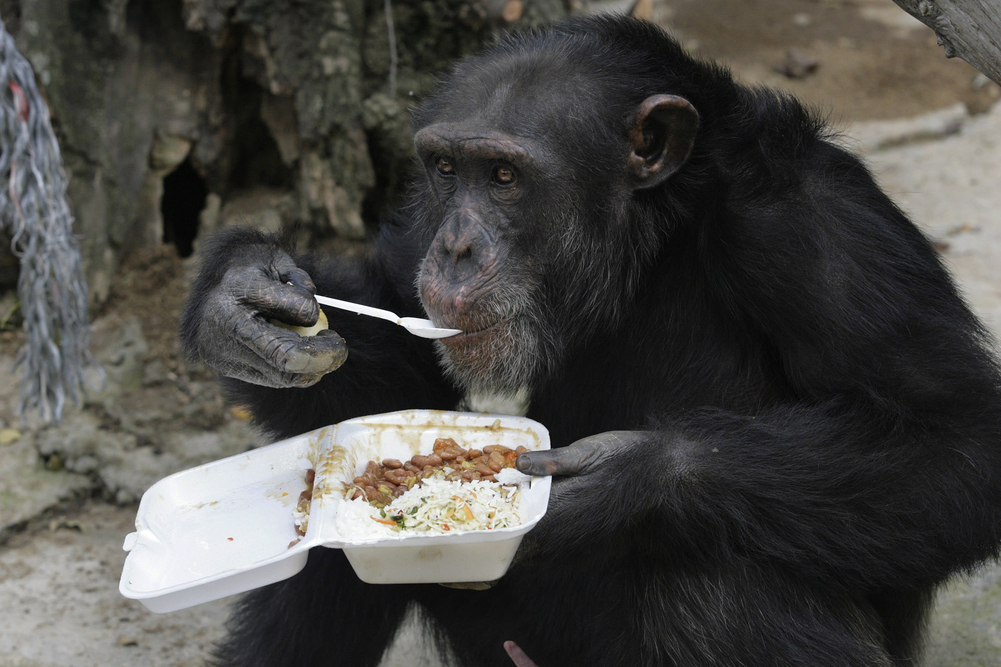 Are Chimps Entitled to Human Rights? NY Court to Decide