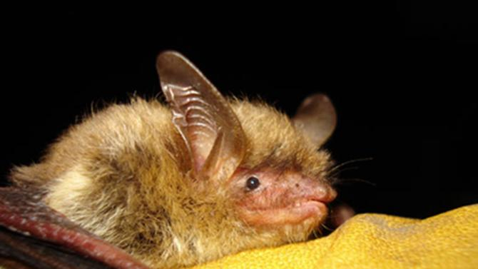 FILE - This undated file photo provided by the Wisconsin Department of Natural Resources shows a northern long-eared bat. The federal government is declaring the northern long-eared bat, one of North America's most widely distributed bats a threatened species because of the spread of the deadly fungal disease, white-nose syndrome. The syndrome was first was first discovered among bats in a cave near Albany, New York, in 2006. The U.S. Fish and Wildlife Service says the northern long-eared bat meets the criteria for a threatened species under the Endangered Species Act.  (AP Photo/Wisconsin Department of Natural Resources, File)