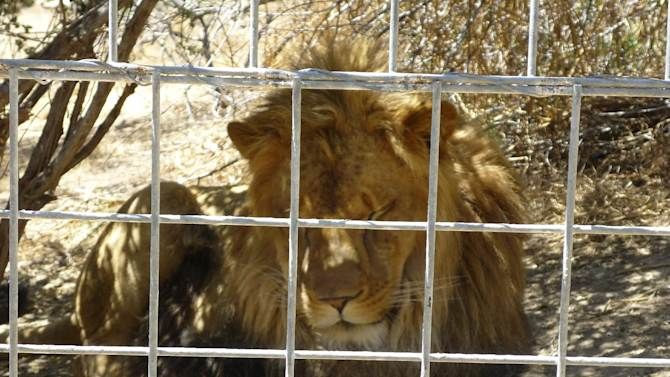 This 2012 photo provided by KFSN-TV shows a 4-year-old male African lion named Couscous at Cat Haven, a private wild animal park in Dunlap, Calif. Authorities say the lion killed a female intern-volunteer on Wednesday, March 6, 2013, at Cat Haven, where the cat had been raised since it was a cub. The intern was attacked and fatally injured after getting into an enclosure with the lion, Fresno County sheriff's Sgt. Greg Collins said. (AP Photo/KFSN-TV) OUT KGPE, KSEE, KMPH, KFTV; FRESNO BEE OUT, VISALIA TIMES-DELTA OUT