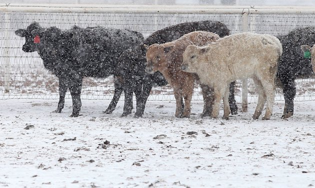 Cattle stand in blizzard conditions in Lubbock, Texas, Monday, Feb. 25, 2013. Monday, Feb. 25, 2013. State troopers are unable to respond to calls for assistance and National Guard units are mobilizin