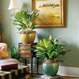Larger-leaved selections such as 'Deborah' and 'Silver Bay' help reduce the scale of a big room.