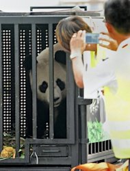 Jia Jia, one of two giant pandas on loan from China, looks out from its cage upon its arrival at Singapore's Changi airport on September 6. Singapore has devoted millions of dollars to a climate-controlled enclosure designed to promote breeding in the island's humid tropical climate