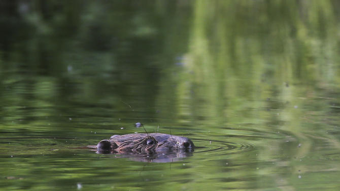 In this photo taken Sunday, May 26, 2013 a beaver swims in a pond in the forest near the village of Lovtsevichi, 50 km ( 31,2 miles) north-west of Minsk, Belarus. A  fisherman was bitten after trying to catch a beaver to have his photograph taken with him, but the beaver attacked the 60-year-old with razor-sharp teeth, slicing an artery and causing the man to bleed to death. Other beavers also have turned aggressive when confronted by humans after wandering near homes, shops and schools throughout Belarus. Once hunted nearly to extinction in Europe, beavers have made a comeback throughout the continent. In Belarus, a former Soviet nation between Russia and Poland, the population has tripled in the past decade to an estimated 80,000, according to wildlife experts. (AP Photo/Sergei Grits)
