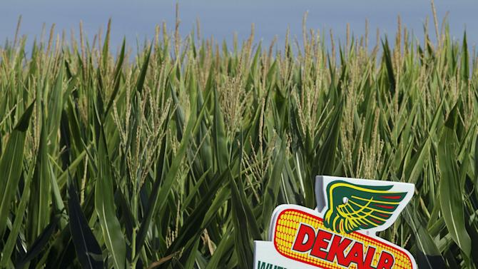 In this Sunday, July 2, 2012, photo, the DEKALB corn logo is seen on along side of rows of corn in Ashland, Ill.  Agricultural products giant Monsanto reported Tuesday, Jan. 8, 2013,  that its profit nearly tripled in the first fiscal quarter as sales of its biotech corn seeds expanded in Latin America. (AP Photo/Seth Perlman)