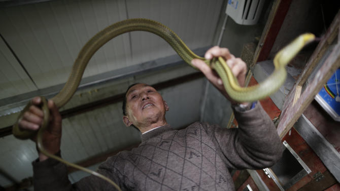 In this Jan. 29, 2013 photo, snake farm worker Zhu Liangfa holds a snake at the Snake Culture Museum in Zisiqiao village, Zhejiang Province,  China, known as China's first snake village where raising more than 3 million snakes a year and they are used for traditional medicinal products and food. According to the twelve signs of the Chinese zodiac, the year 2013 marks the year of the snake. (AP Photo/Eugene Hoshiko)