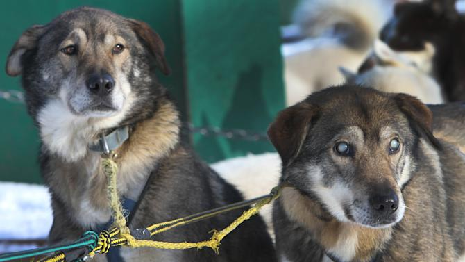 In this photo taken Thursday Jan. 17, 2013, sled dogs Poncho, left, and his blind brother Gonzo are hooked up for a run at the Muddy Paw Sled Dog Kennel,  in Jefferson, N.H. Poncho has taken to helping his blind brother on regular runs.  (AP Photo/Jim Cole)
