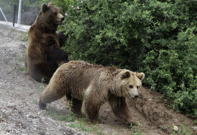 Two bears are seen at a bear sanctuary after having been taken from a private zoo located in the Kosovo town of Prizren