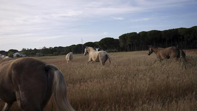 """In this photo taken on Tuesday, April. 2, 2013, ''Pura Raza Espanola'' or Pure Spanish Breed mares belonging to breeder Francisco Jose Rodriguez are seen at """"La Yeguada de Cuatro Vientos"""" ranch in Almonte, in the southern Spanish region of Andalusia. Barring an unlikely reprieve, Mesa' purebreds will be turned into horse meat for export come July. They are victims of a wrenching economic downturn that has wiped out fortunes, turned housing developments into ghost towns and left more than a quarter of the population out of work. (AP Photo/Laura Leon)"""