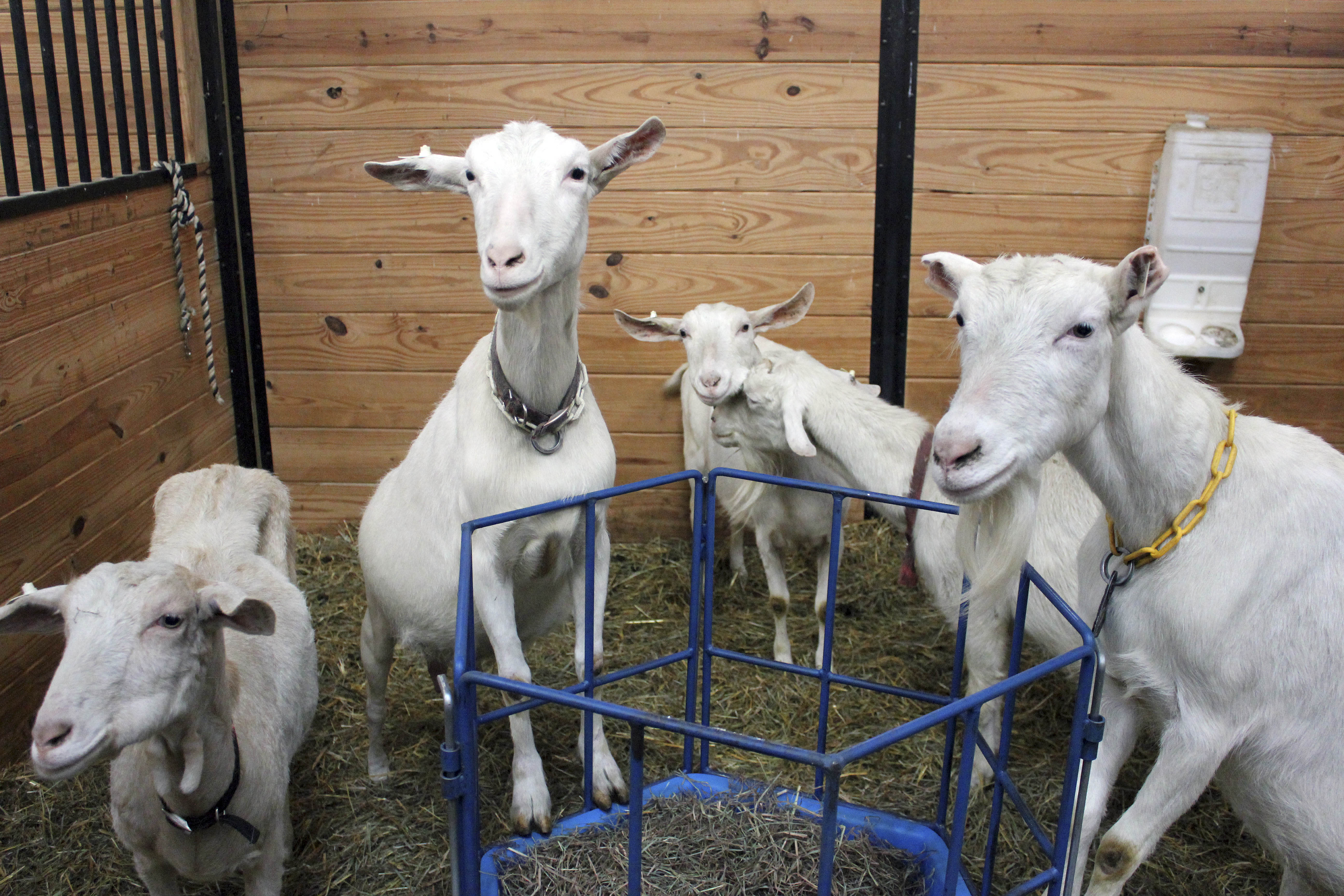 Connecticut urged to consider euthanizing rescued goats