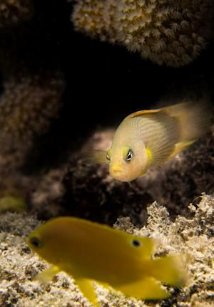 The new study shows that when damselfish (front) -- …