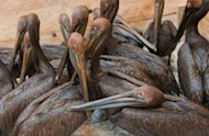 Oil covered brown pelicans found off the Louisiana coast await cleaning in Buras, Louisiana in June 2010. After weeks of damning testimony describing how BP and its subcontractors ignored multiple warning signs prior to the April 20 explosion aboard the Deepwater Horizon, experts say the case against BP is strong