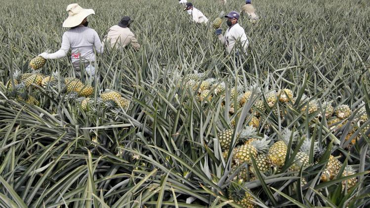 Men work on a crop of pineapples in Pradera