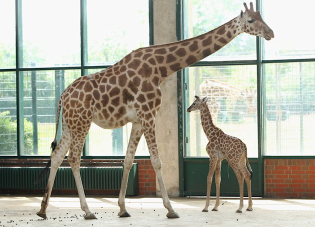 Baby Giraffe Born At Berlin Zoo