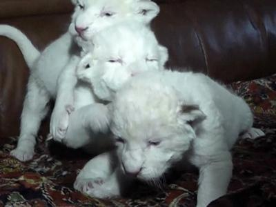 Raw: White S. African Lion Cubs Born in Ukraine