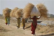 Women carry dried grass to feed their cattle on the outskirts of Ahmedabad