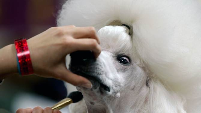 Sophie, a Standard Poodle, is groomed before her showing at the 136th annual Westminster Kennel Club dog show, Monday, Feb. 13, 2012, in New York. (AP Photo/Craig Ruttle)