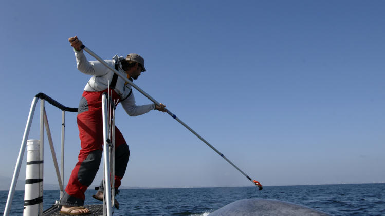 This undated image provided by the SOCAL-BRS project shows a researcher tagging a blue whale off the coast of Southern California. Two recent studies off Southern California found certain endangered blue whales and beaked whales stopped feeding and fled from recordings of noise similar to military sonar. (AP Photo/SOCAL-BRS project)