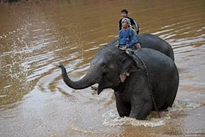 Mahouts with their elephants after bathing them in…