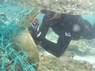 NOAA divers cut a Hawaiian green sea turtle free from a derelict fishing net during a recent June/July 2012 mission to collect marine debris in the Northwestern Hawaiian Islands.