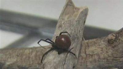 Brown Widow Spider Found In Kansas